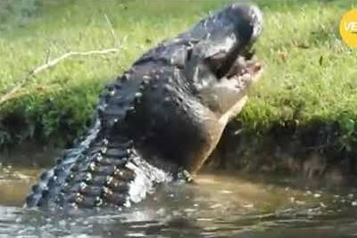 WATCH: Massive Cannibal Gator Eats 6-foot Gator